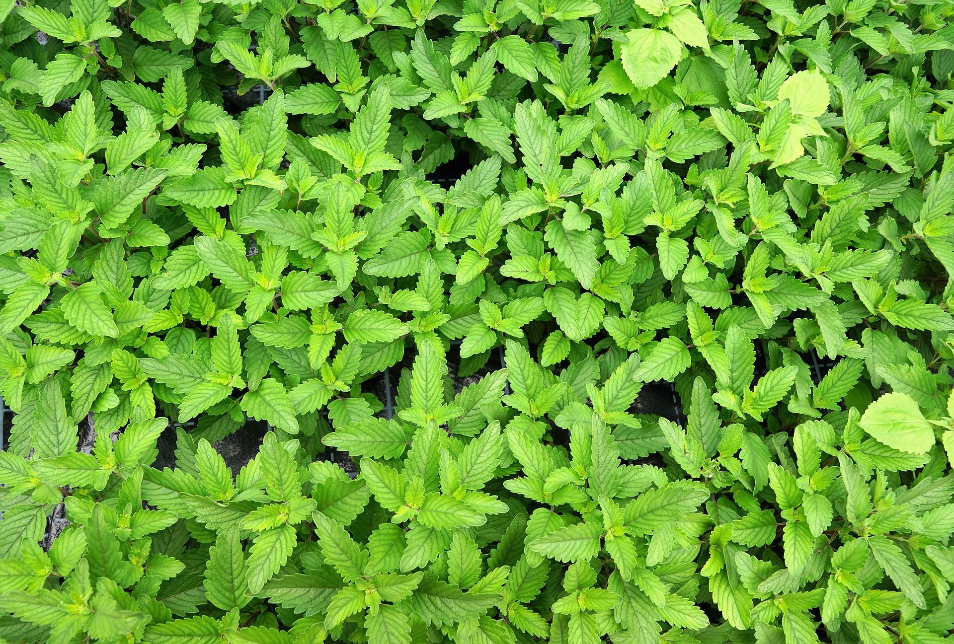 דיאטת תה ירוק